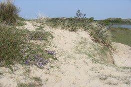 Zanddoddegras klinkt als een gedicht